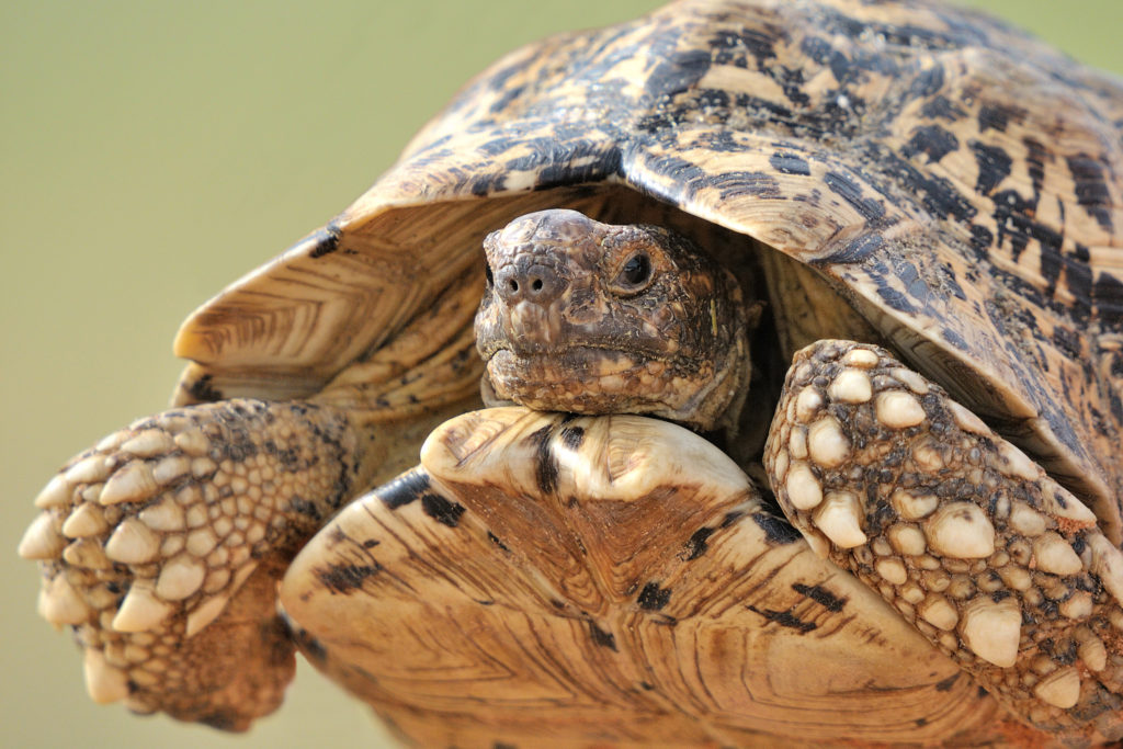 DRUG DELIVERY TO THE GUT VIA TORTOISE SHELL